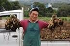 鹿児島県で芋焼酎の原料となるサツマイモ「コガネセンガン」の芋ほり体験!