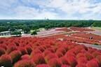茨城県の色づく秋、「きて みて さわって コキアカーニバル」開催中