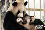 パンダの赤ちゃんが生後2カ月を迎えたよ!-和歌山・アドベンチャーワールド