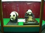 祝・来日40周年! 「ジャイアントパンダ来園40周年展」を開催 -上野動物園
