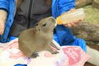 栃木県、那須どうぶつ王国でカピバラの赤ちゃんの展示がスタート