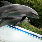 東京都のしながわ水族館で開催! 大迫力のイルカショーレポート