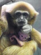 神奈川県・金沢動物園、シロテテナガザルの親子とブラジルバクを公開中