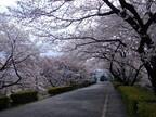 埼玉県・理化学研究所がキャンパスを一般開放 - 桜を楽しんでもらうため