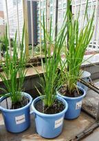 全農、バケツで米を育てる「バケツ稲づくりセット」3/21より受付開始