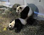 東京都・上野動物園で、ジャイアントパンダの交尾を確認