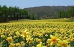 栃木県・マウントジーンズ那須が、100種類30万球が咲く「水仙パーク」に