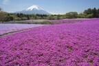 山梨県で、富士山と芝桜の絶景をのぞむ「富士芝桜まつり」開催