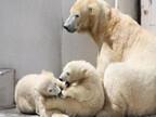 ホッキョクグマの双子の赤ちゃん、性別が判明!-北海道・札幌市円山動物園