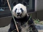 パンダの「シンシン」妊娠の可能性で展示中止-東京都・上野動物園