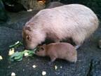 静岡県の伊豆シャボテン公園でカピバラの赤ちゃん3頭が誕生!