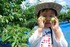 和歌山県の老舗梅干し屋で青梅狩り。梅のおもてなしや梅ジャム作り体験も!