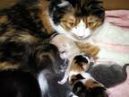 メス猫ってオス猫とどう違うの?-「顔が小さい」「脂肪多め」「目が大きい」