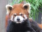 神奈川県・よこはま動物園でかわいいレッサーパンダが公開!