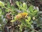 【エンタメCOBS】刺さないハチ!? ライポンの謎を追う!