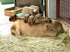 那須どうぶつ王国、カピバラの赤ちゃん11頭を公開 7月13日からはふれあいの時間も