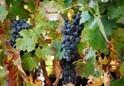 ワインの調理効果に関する研究 乳酸に肉を柔らかくする高い効果あり