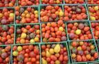 ブームの予感!イギリスで開発された「紫トマト」がすごい