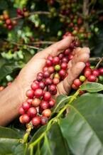 コーヒーが値上がりの可能性―ブラジルの異常気象が原因