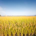 日本産の米がなくなるかも?「補助金がもらえる減反制度、2018年を目途に終了」
