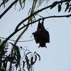 コウモリの免疫力が、エボラ出血熱を予防する鍵に-豪研究者
