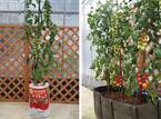 初心者でも安心して栽培できる! トマト専用の「KAGOME トマトの土」新発売