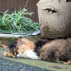 その名は「ニャア大佐」! 世界一「毛の長い猫」
