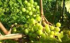 サツマイモ、ぶどうにシイタケ! 働く女子に聞いた★秋の味覚狩りランキング 3位「りんご狩り」