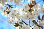 春は恋の季節!お花見で恋愛運をアップする方法