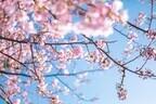 今年は3月下旬~4月上旬が見頃! 東京のお花見スポットベスト5