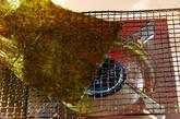 手巻き寿司の下準備2