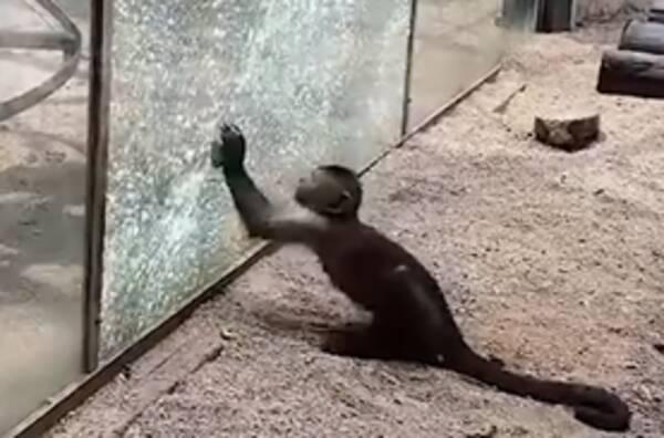 石でガラスを粉砕する賢い猿が中国の動物園に現れる まるで石器時代 ...