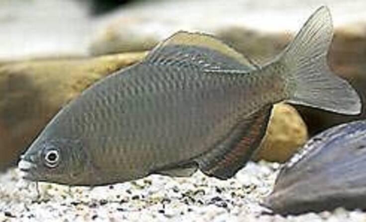 アブラボテを釣りたい!関東にはいないタナゴの仲間!生態や釣り方を詳しくチェック