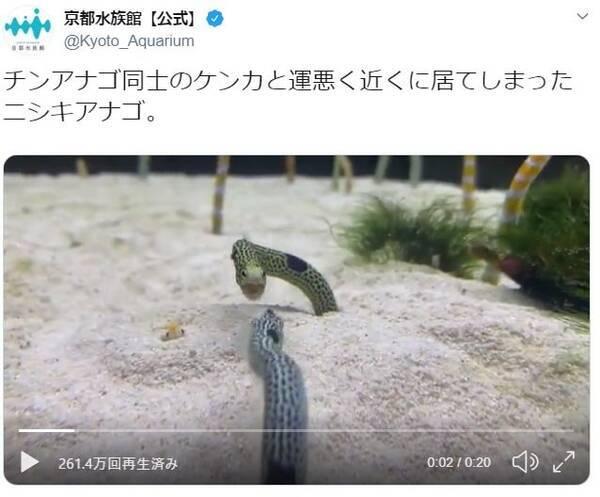 チンアナゴ同士のケンカに運悪く居合わせたニシキアナゴ! 京都水族館 ...