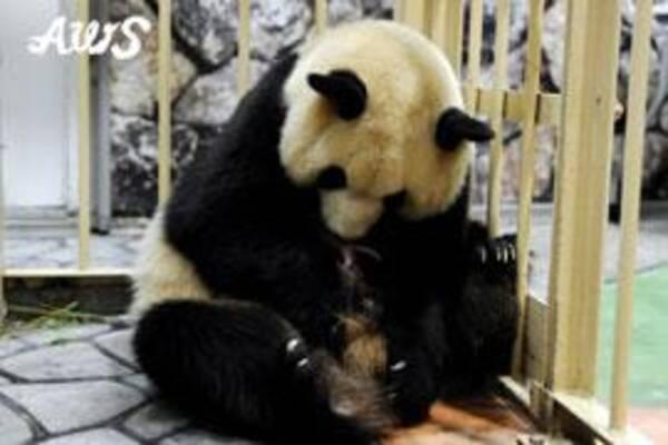 双子の赤ちゃんパンダが誕生 白浜アドベンチャーワールド 2014年12月3