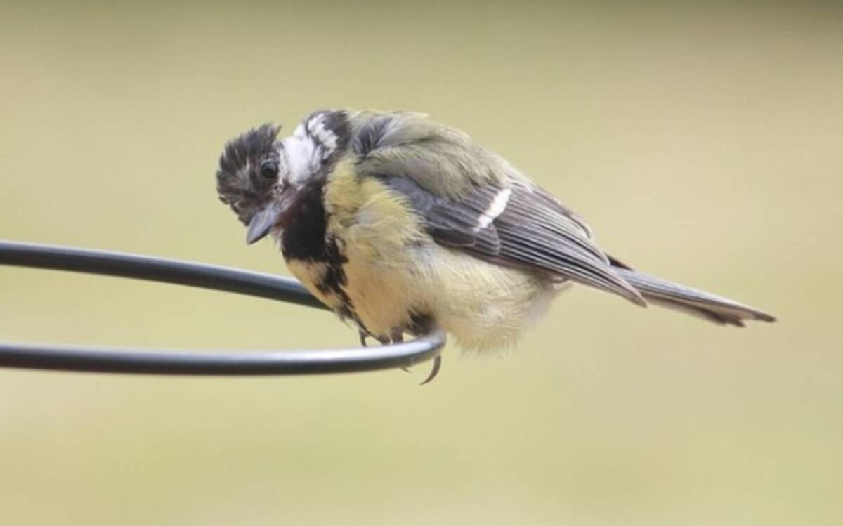 あのかわいらしい鳥に一体何が?シジュウカラが他の鳥を襲い脳を食べ ...