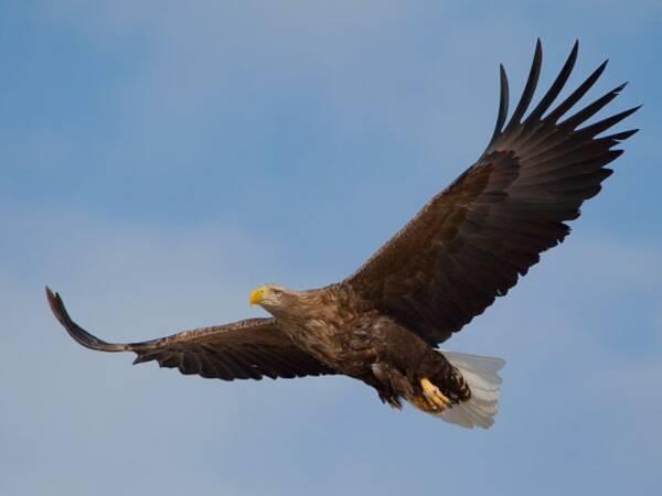 英国最大の猛禽類「オジロワシ」が240年ぶりに戻ってきた!空を舞う姿 ...