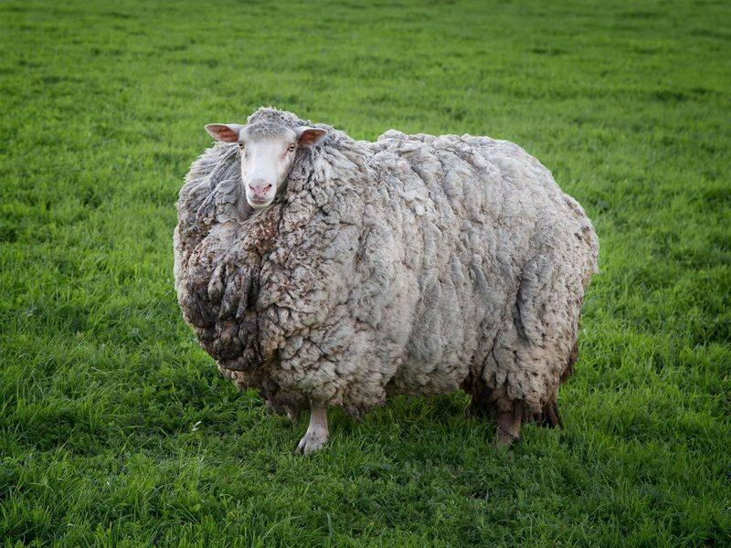 7年ぶりに発見された羊、毛量大幅アップで巨大化していた ...