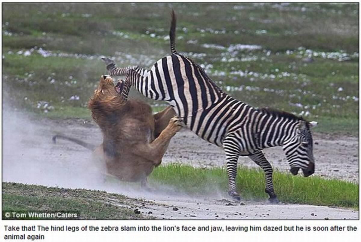 強烈なウマキック炸裂、ライオンを見事撃退 (2011年4月8日) - エキサイトニュース