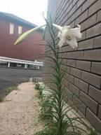 北別府学氏、鉄砲百合の花が根っこから引き抜かれ「おじさんは怒ってるぞ」