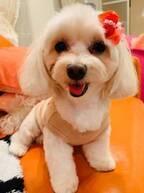 """小川菜摘、トリミングで""""綺麗に可愛く""""なった愛犬達「ポーズが決まってますね」"""