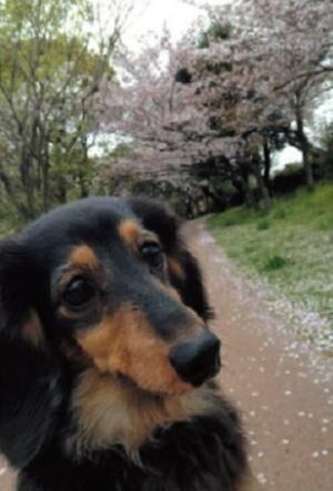 犬に勝るカワイイはないと思ってます!無意識にしっぽが動いちゃうとか、もう最高。この子は愛犬のチルです。