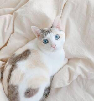 青い瞳のシンデレラ猫!? 「麗しすぎる猫さま」から目が離せない!