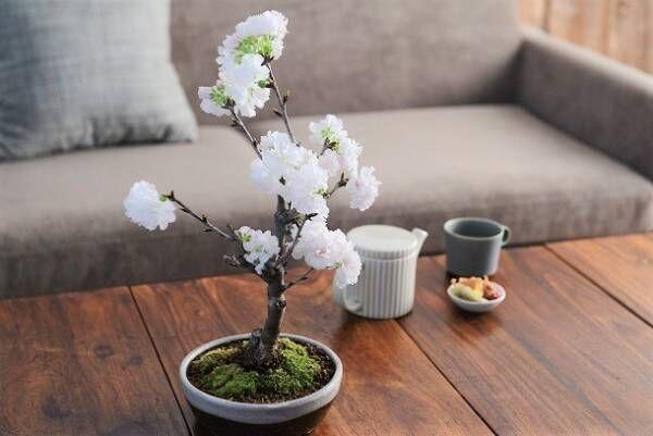 春爛漫。桜の盆栽で、おうちを春色に。[PR]