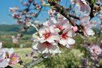 アーモンドの花がある景色を探す朝