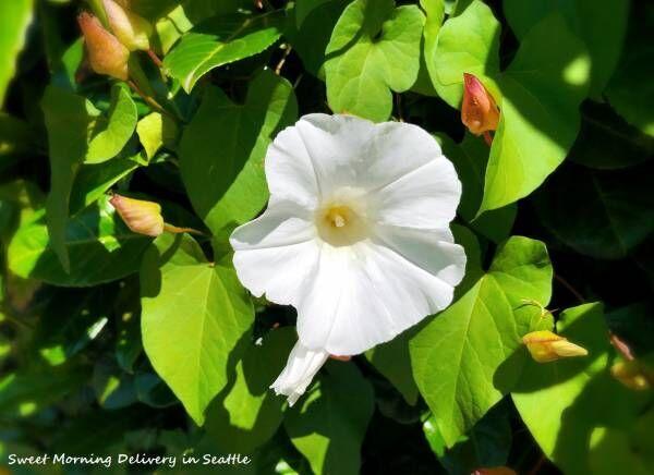 クイズ★花の名前『Morning Glory』は日本語で?