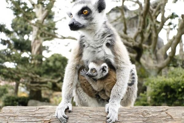 伊豆シャボテン動物公園はベビーラッシュ!キツネザルやワラビーの赤ちゃんを見に行こう