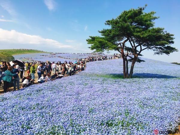 海外からも注目される絶景!国営ひたち海浜公園のネモフィラは今が見頃
