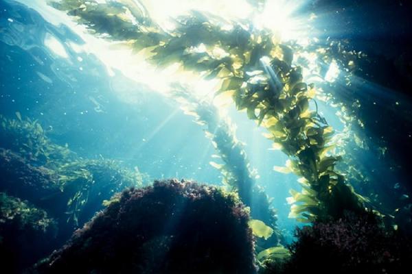 海の揺らめく海藻