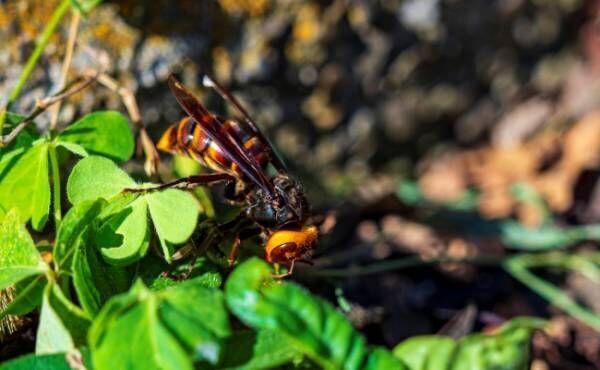 台風で巣を失ったスズメバチ
